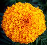 Orange Ringelblume Lizenzfreie Stockbilder