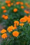 Orange Ringelblume-Blumen Lizenzfreie Stockbilder