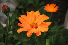 Orange Ringelblumen blühen im Garten lizenzfreie stockbilder