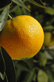 Orange ripening on the tree Stock Photos