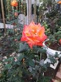 orange ro royaltyfri bild