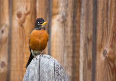 Orange Robin Bird Perched on Wood post. Nice avian perched on wood log looking at camera stock images