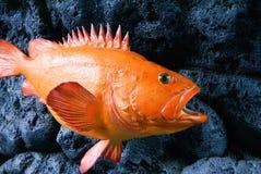 Orange rock fish swimming along the black rocks at the Alaska Sealife Center in Seward Alaska stock images