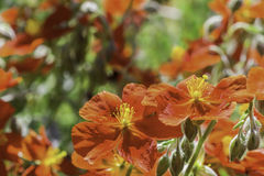 Orange Rock Roses in the Sun. Helianthemums blooming in the bright sunlight Royalty Free Stock Photography