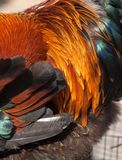 Orange rooster feathers Royalty Free Stock Photo