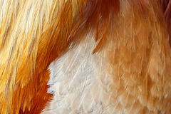 Orange rooster feathers of various shapes Royalty Free Stock Image