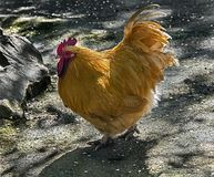 Orange rooster 4. Orange rooster on the ground in its enclosure royalty free stock photography