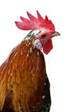 Orange rooster isolated head Stock Photography