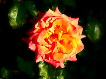 Orange ros p? Parnell Rose Garden, Auckland, Nya Zeeland royaltyfri foto