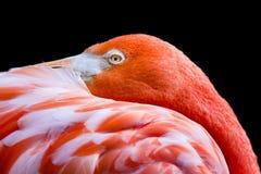 Orange-rosa Flamingo Lizenzfreies Stockbild