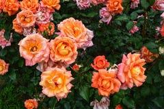 Orange rosa rosor i trädgården arkivfoto