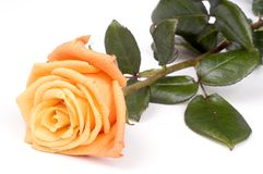 Orange rose stock images