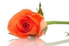 Free Orange Rose Stock Image - 12584101
