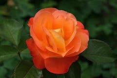 Orange rose. Close-up of an orange rose royalty free stock photo