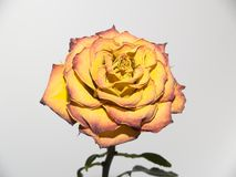 Orange rose. Withering yellow-orange rose. bud of the dried up petals Royalty Free Stock Image