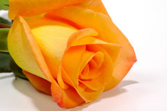 Orange Rose 2 Stock Photos