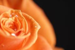Orange rose. On the black background stock photos