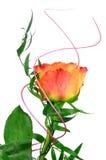 Orange rose. Isolated on white background Royalty Free Stock Photography