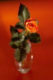 Orange rose. Flower on orange background Stock Images