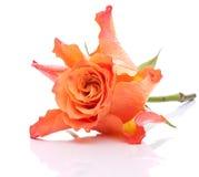 Orange rose. Isolated on white background cutout royalty free stock photo