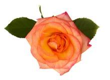 Orange rose. One orange rose isolated on white background royalty free stock images