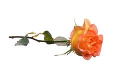 Orange rose. Isolated on white royalty free stock image