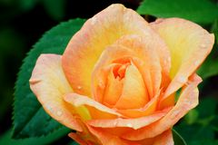 Orange rose Royalty Free Stock Image