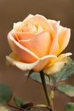 Orange Rose. A Close Up Orange Rose In Garden royalty free stock photo