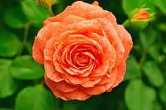Orange rose. Orange beautiful rose growing in the garden stock photo
