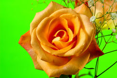 Orange Rose 4 Royalty Free Stock Images