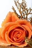 Orange rose. Beautiful orange rose macro close-up royalty free stock images