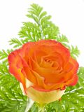 Orange Rose. Close-up with green fern Royalty Free Stock Photos