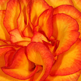 Orange Rose. Very closeup shot of the petals of an orange rose Stock Images