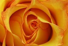 Orange rose. Macro shot of a orange rose blossom - beautiful layers of petals royalty free stock photography