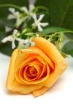Orange Rose. Closeup isolated over white background royalty free stock photos