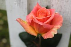 Orange Rose Stockfoto