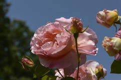 Orange Rose Lizenzfreie Stockbilder