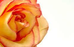Orange Rose Royalty Free Stock Photography