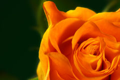 Orange Rose. A closeup view of a beautiful orange rose royalty free stock photography