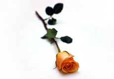Orange rose. For a romantic date Stock Images