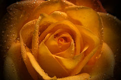 Orange rose. With drops of water Royalty Free Stock Image