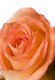 Orange Rose. Extreme close up royalty free stock image
