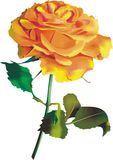 Orange rose. Royalty Free Stock Photography