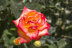 Orange Rose Stockbilder