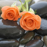 Orange rose. Two orange rose flowers on pebble stock image