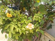 Orange Rose Stockfotos