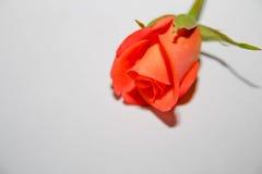 Orange Rose Lizenzfreies Stockfoto