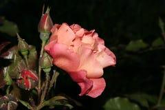 Orange Rose Lizenzfreie Stockfotografie
