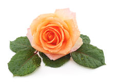 Free Orange Rose After A Rain. Stock Photos - 80754713