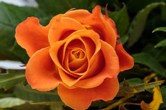 The orange-rose stock photos